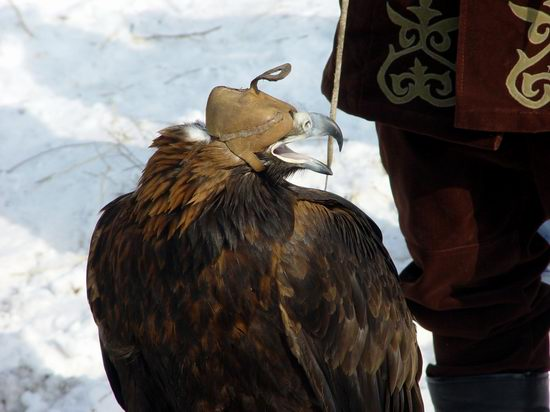 Kazakhstan - The hunt with tame hawks and falcons view 11