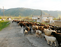 Kazakhstan sheep scenery
